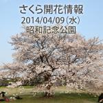 さくら開花情報 2014/04/09(水) 昭和記念公園は見頃を迎えています!